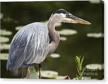 Canvas Print featuring the photograph Great Blue Heron  by Jeannette Hunt