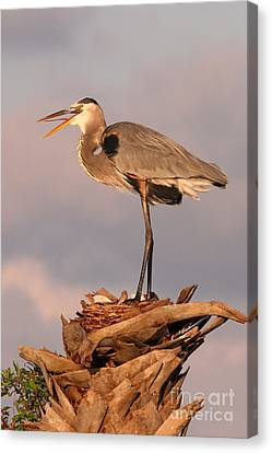 Great Blue Heron Canvas Print by Jennifer Zelik