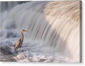Great Blue Heron Canvas Print by Josef Pittner