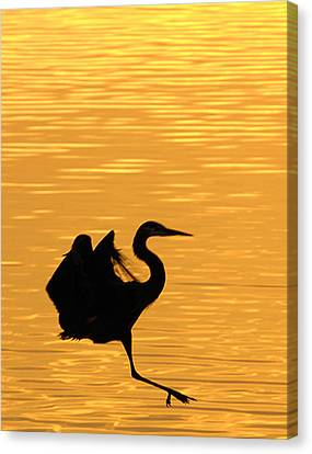 Canvas Print featuring the photograph Great Blue Heron Landing In Golden Light by Randall Branham