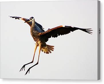 Great Blue Heron Landing Canvas Print by Paulette Thomas