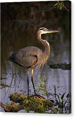 Great Blue Heron Canvas Print by Natural Selection Ralph Curtin