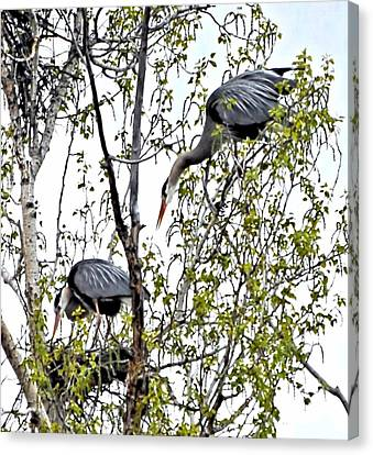 Great Blue Heron Nest Canvas Print