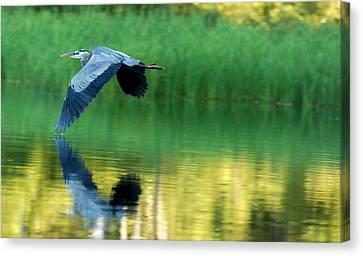 Great Blue Heron On Golden Pond Canvas Print