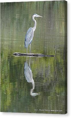 Great Blue Heron On Lake Chipican Canvas Print