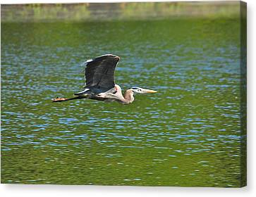 Great Blue Heron Reaching Cruise Altitude Canvas Print