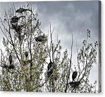 Great Blue Heron Rookery-1 Canvas Print