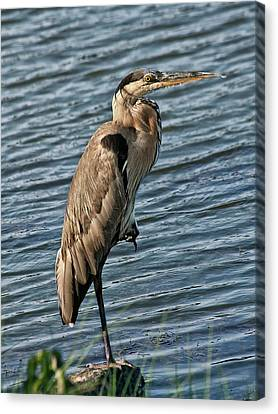 Great Blue Heron Canvas Print by Sandra Anderson