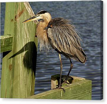 Great Blue Heron Shadow Canvas Print by Paulette Thomas