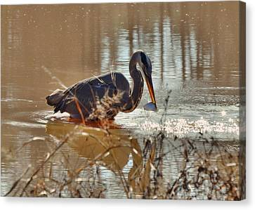Great Blue Heron Snagging Fish - C3266h Canvas Print by Paul Lyndon Phillips