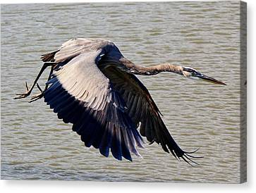 Great Blue Heron Soaring Canvas Print by Paulette Thomas