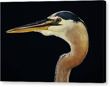 Great Blue Heron Up Close Canvas Print by Paulette Thomas