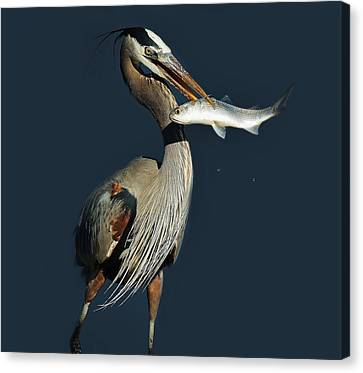 Great Blue Heron With Fish Canvas Print by Paulette Thomas