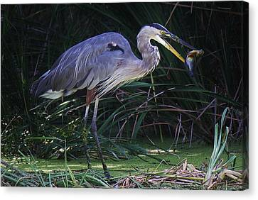 Great Blue Heron With The Catch Of The Day Canvas Print by Paulette Thomas