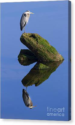 Great Blue Reflection Canvas Print by Mike  Dawson