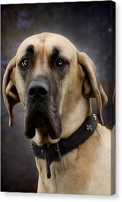 Canvas Print featuring the photograph Great Dane Dog Portrait by Ethiriel  Photography