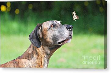 Great Dane Rufus Dagoofus With Butterfly Canvas Print by Lila Fisher-Wenzel