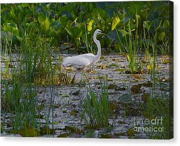 Great Egret 2 Canvas Print by September  Stone