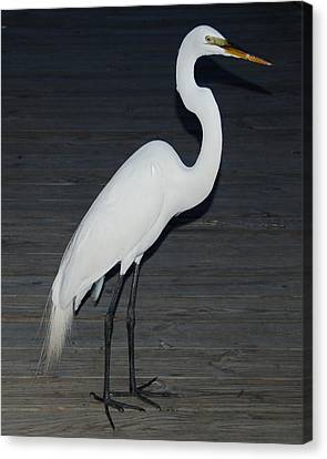 Snowy Egret Canvas Print by Aimee L Maher Photography and Art Visit ALMGallerydotcom