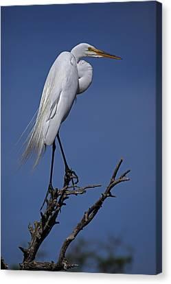 Great Egret, Casmerodius Albus, Perched Canvas Print by John Cancalosi