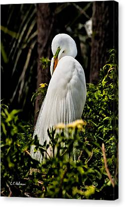 Great Egret Canvas Print by Christopher Holmes