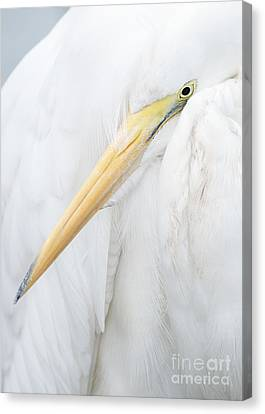 Canvas Print featuring the photograph Great Egret by Doug Herr