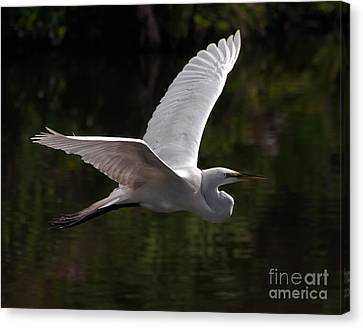 Great Egret Flying Canvas Print by Art Whitton