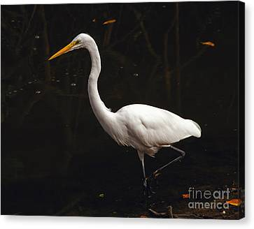 Great Egret Hunting Canvas Print by Art Whitton