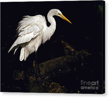 Great Egret Ruffles His Feathers Canvas Print by Art Whitton