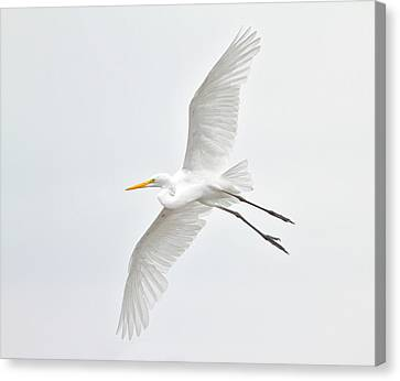 Great Egret Taking Off Canvas Print by Bmse