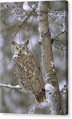 Great Horned Owl In Its Pale Form Canvas Print by Tim Fitzharris