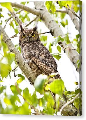 Canvas Print - Great Horned Owl by Sheri Van Wert