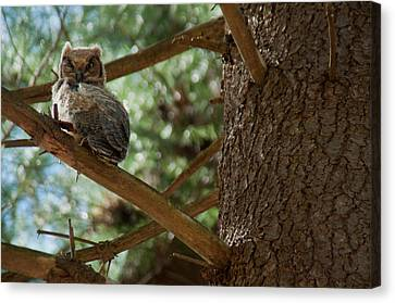 Ron Smith Canvas Print - Great Horned Owlet by Ron Smith