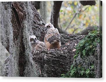 Great Horned Owlets Canvas Print by Jennifer Zelik