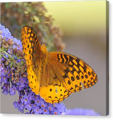 Great Spangled Fritillary Butterfly Canvas Print by Paul Ward