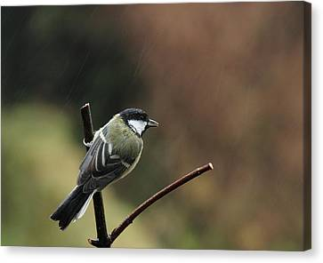 Great Tit In The Rain Canvas Print by Peter Skelton