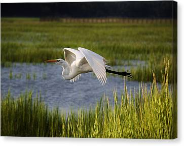 Great White Egret Flying Through The Marsh Canvas Print by Paulette Thomas