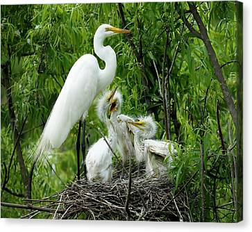 Great White Egret With Babies Canvas Print by Paulette Thomas