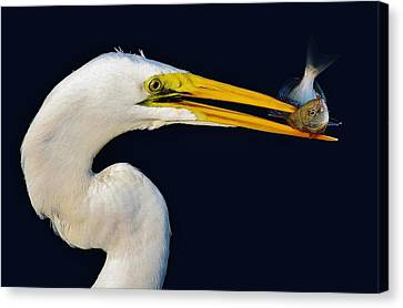Great White Egret With His Catch Canvas Print by Paulette Thomas