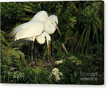Great White Egrets Nesting Canvas Print by Sabrina L Ryan