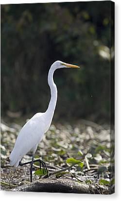Great White Heron Canvas Print by Christopher Purcell