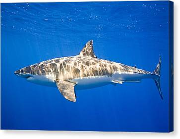 Great White Shark Carcharodon Carcharias Canvas Print by Carson Ganci