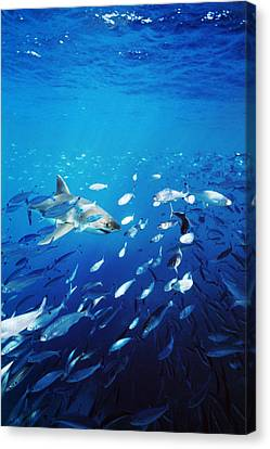 Great White Shark Hunting In A Large Canvas Print