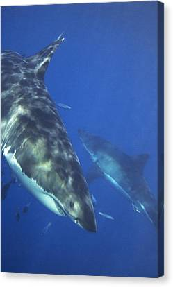 Great White Sharks Swimming In Clear Canvas Print by Mauricio Handler