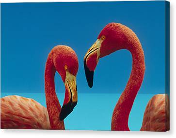 Greater Flamingo Courting Pair Canvas Print