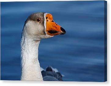 Greater-white Fronted Goose Canvas Print by Ann Murphy