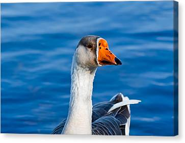 Greater White-fronted Goose Looking For A Mate Canvas Print by Ann Murphy