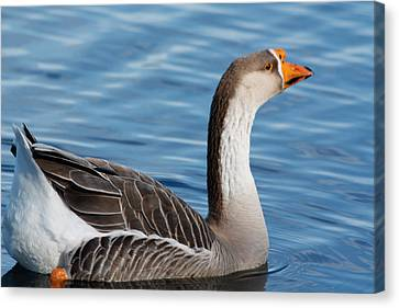 Greater White-fronted Goose Paddling Away Canvas Print by Ann Murphy