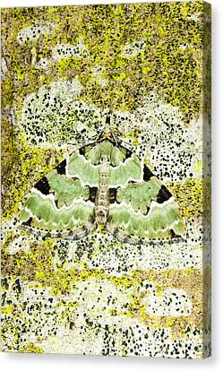 Green Carpet Moth Canvas Print by Dr Keith Wheeler