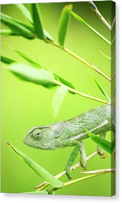 Green Chameleon In Mozambique Canvas Print by Alex Bramwell